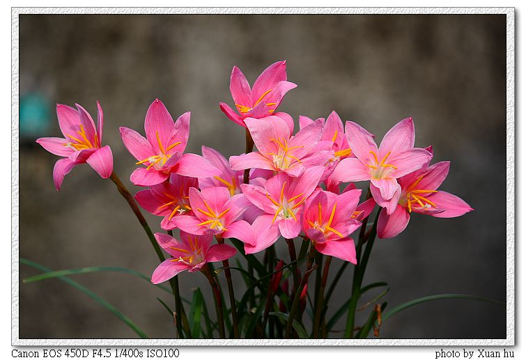 韭蘭Zephyranthes carinata ...